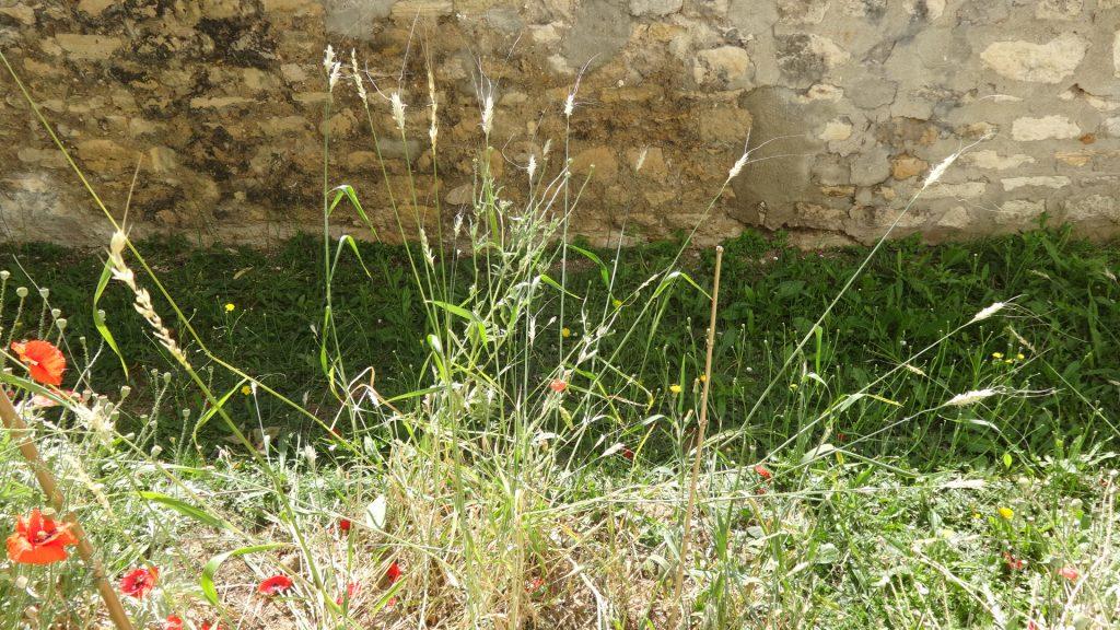 Parcelle d'avoine nue dans les jardins de Maurice d'Occagne